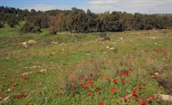 Rosh HaAyin Forest - Wildflowers & Archaeology in Central Israel