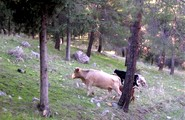 Controlled Forest Grazing