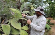 Saving the Sabra (Prickly Pear) Cactus